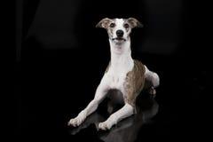 El perro del lebrel Foto de archivo libre de regalías