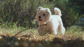 El perro del melocotón se pegó hacia fuera la lengua y va a saltar Raza lista del perro almacen de metraje de vídeo