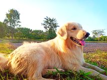 El perro del perro perdiguero es marrón fotos de archivo libres de regalías