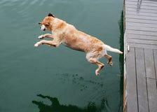 El perro del perro perdiguero de oro salta de muelle Fotografía de archivo