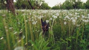 El perro del pinscher miniatura corre a lo largo de hierba verde