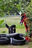 El perro del rescate está buscando a gente Imagen de archivo