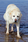 El perro del retrivt de la raza en el lago Foto de archivo