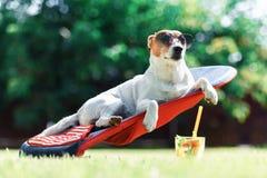El perro del terrier de Jack Russel miente en una cubierta-silla imagen de archivo