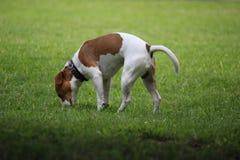 El perro del terrier de Jack Russell coloca y huele algo en la hierba imágenes de archivo libres de regalías