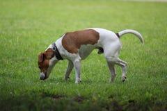 El perro del terrier de Jack Russell coloca y huele algo en la hierba imagenes de archivo