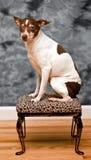 El perro del terrier de rata se sienta en un resto del pie de la piel del leopardo Imagenes de archivo