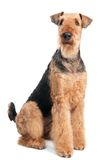El perro del terrier del Airedale aisló fotos de archivo