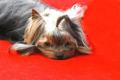 El perro del VIP imagen de archivo libre de regalías