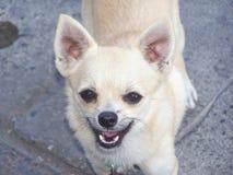 El perro del wah del wah de la ji es lisonjea Imágenes de archivo libres de regalías