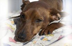 El perro del Zwergpinscher Imagen de archivo