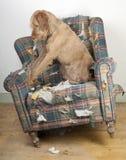 El perro demuele la silla Imagenes de archivo
