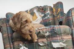 El perro demuele la silla Imagen de archivo libre de regalías