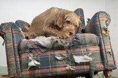 El perro demuele la silla Foto de archivo libre de regalías