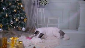 El perro desempaqueta un regalo cerca de decoraciones cercanas de la Navidad durante la celebración del Año Nuevo almacen de video