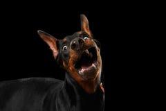 El perro divertido del Pinscher del Doberman del primer sorprendido abrió la boca, negro aislado Foto de archivo libre de regalías