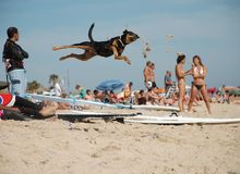 El perro divertido salta Fotografía de archivo libre de regalías