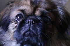 El perro dulce del pekinés nombró Tater imagenes de archivo