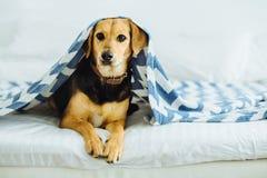 El perro dulce mira a escondidas hacia fuera de debajo las mantas El animal doméstico miente en la cama Comcept casero relajante  fotografía de archivo