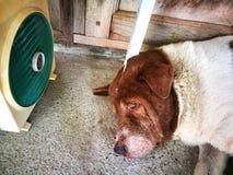 El perro el dormir tiene soplar de la fan fotos de archivo libres de regalías