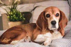 El perro en dueños acuesta o sofá El dormir cansado del perro perezoso del beagle o el despertar Reclinaci?n del perro imagen de archivo libre de regalías