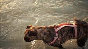 El perro en el agua, nadada, chapoteo en la cámara lenta metrajes