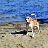 El perro en el lago Fotos de archivo
