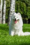 El perro en hierba verde samoyedo Imágenes de archivo libres de regalías