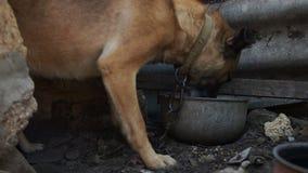 El perro en la cadena come de una cacerola vieja del metal El pueblo en Europa Oriental Vida pobre del pueblo Bienestar animal almacen de video