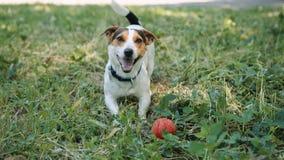 El perro en la hierba raspa y llama para jugar con la bola