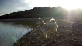 El perro en la playa en la puesta del sol almacen de video
