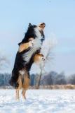 El perro en paisaje del invierno salta en la nieve Fotografía de archivo
