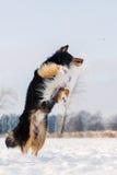 El perro en paisaje del invierno salta en la nieve Imagenes de archivo