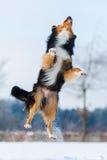 El perro en paisaje del invierno salta en la nieve Fotografía de archivo libre de regalías