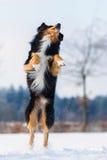 El perro en paisaje del invierno salta en la nieve Fotos de archivo libres de regalías
