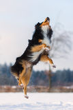El perro en paisaje del invierno salta en la nieve Foto de archivo libre de regalías