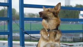 El perro en el pueblo se sienta atado a una cadena El perro atado se sienta en la cerca Perro que espera su amo imágenes de archivo libres de regalías