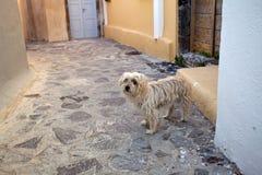 El perro en Santorini imágenes de archivo libres de regalías