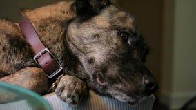 El perro en el sofá despierta y mira encima
