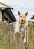El perro en una cadena mira a escondidas hacia fuera de detrás la cerca Imágenes de archivo libres de regalías