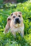 El perro en una hierba fotos de archivo libres de regalías