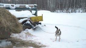 El perro enojado en una cadena está raspando en un pueblo metrajes