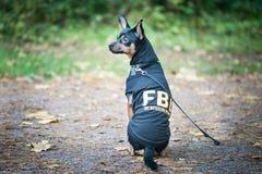 El perro es agente del FBI Terrier de juguete divertido del perrito en el traje fbi imágenes de archivo libres de regalías
