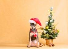 El perro es blanco y marrón en un fondo beige (el día de fiesta del Año Nuevo) Fotografía de archivo