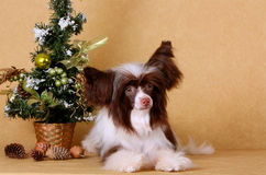 El perro es blanco y marrón en un fondo beige (el día de fiesta del Año Nuevo) Fotos de archivo
