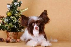 El perro es blanco y marrón en un fondo beige (el día de fiesta del Año Nuevo) Imagen de archivo libre de regalías