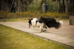 El perro es funcionamiento rápido en un momento Imagenes de archivo