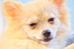 El perro es letárgico Imagenes de archivo