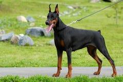 El perro es soportes de un Pinscher del Doberman Imagenes de archivo