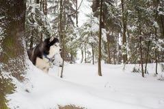 El perro es un lobo en la caza Invierno Fornido Imagen de archivo